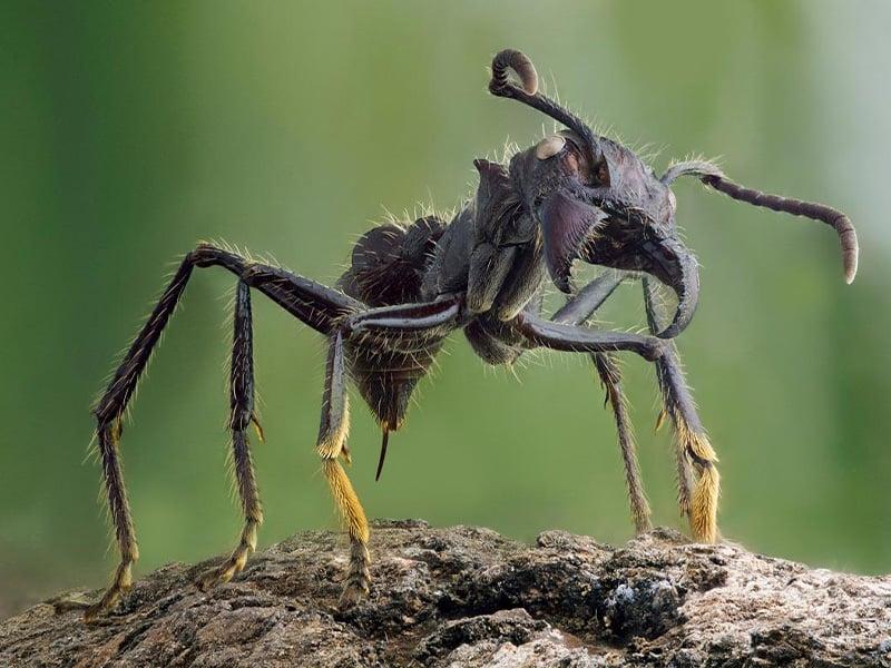 مورچه فشنگی های آمازون